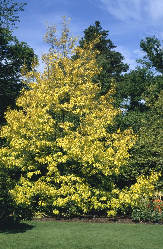 red oak 'Aurea'