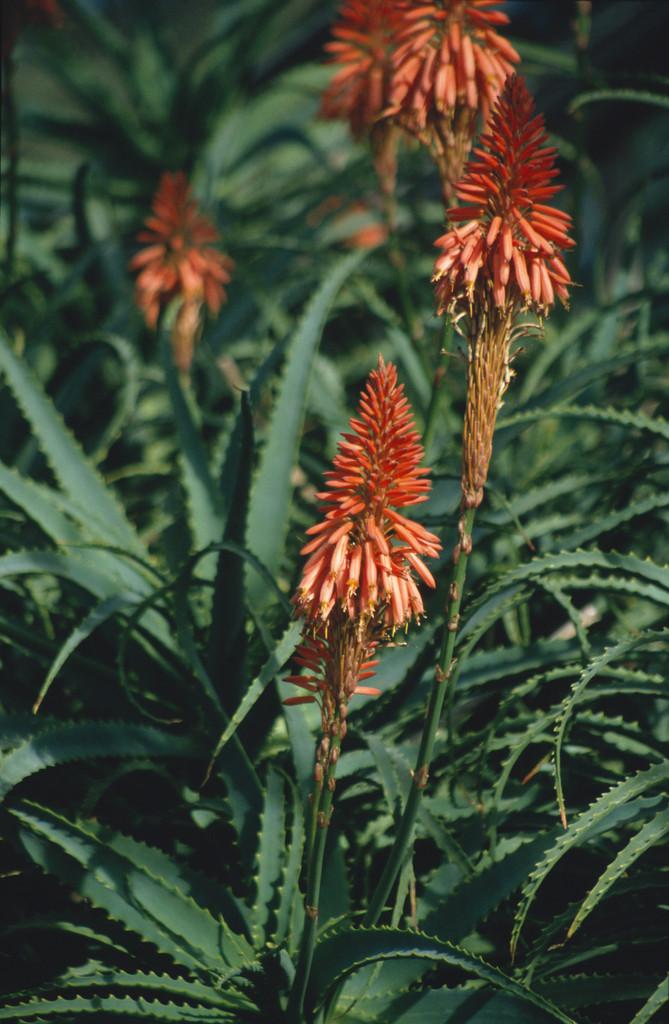 <i>Aloe arborescens</i>