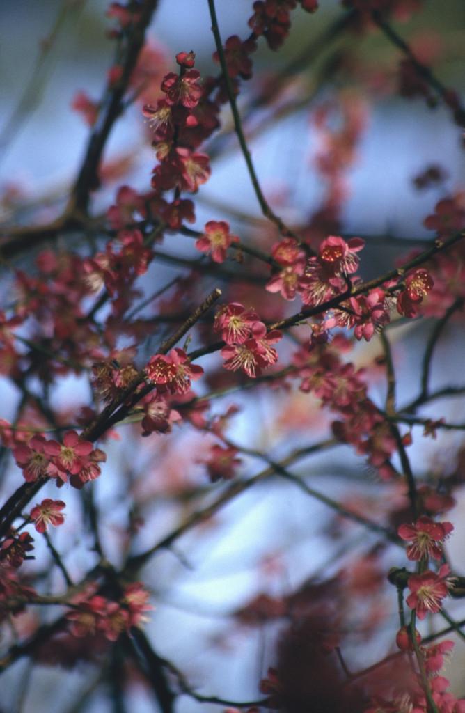 Japanese apricot 'Beni-chidori'