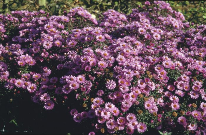 New England aster 'Barr's Pink'