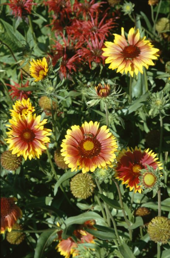 blanketflower 'Kobold'