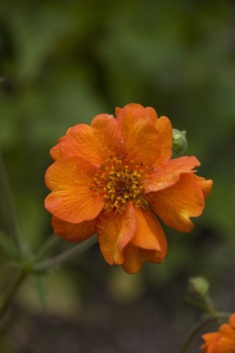 avens 'Prinses Juliana'