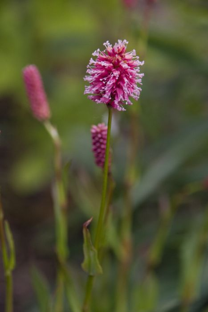 crimson knotweed