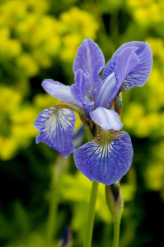 Siberian iris 'Perry's Blue'