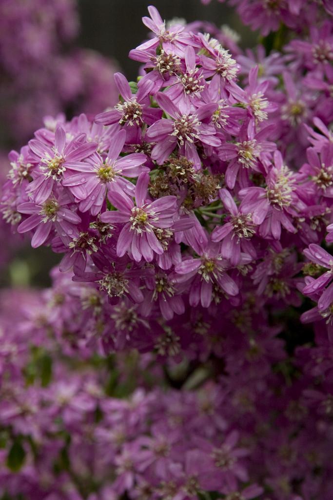 dusty daisy bush 'Comber's Pink'