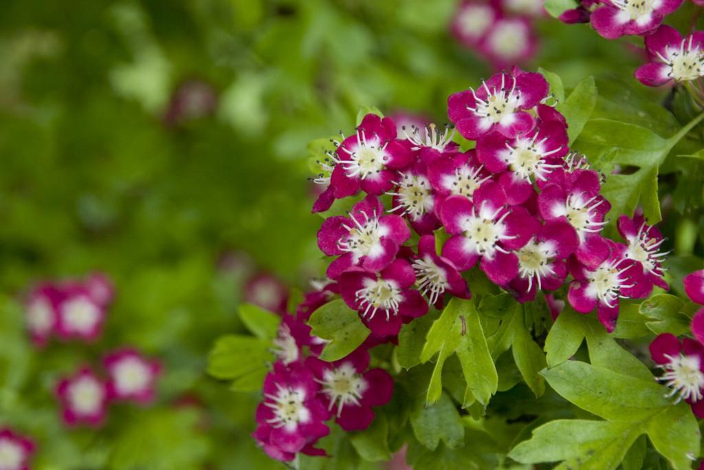 hawthorn 'Punicea'