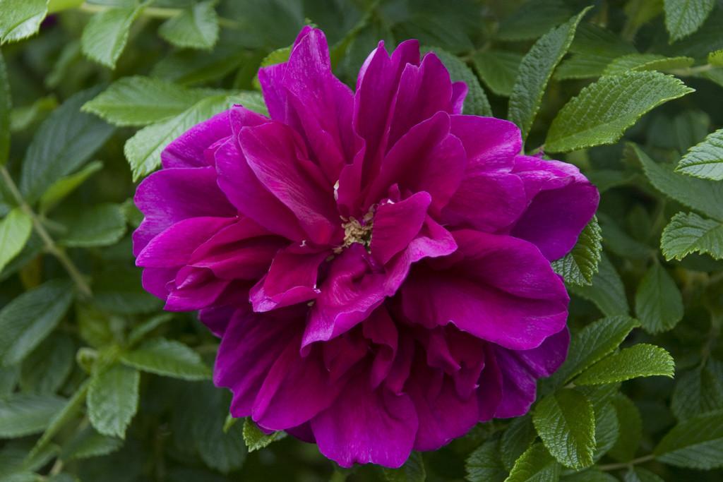 rose 'Hansa'