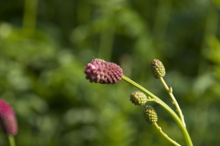 <i>Sanguisorba officinalis</i> 'Arnhem'