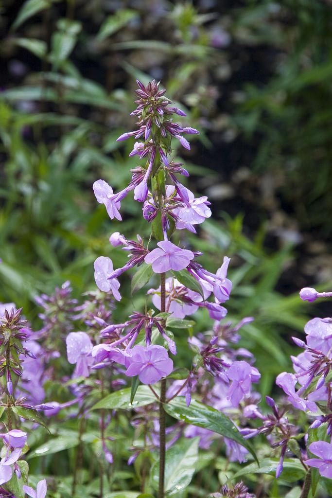 meadow phlox 'Rosalinde'