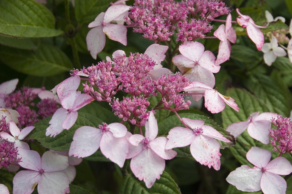 hydrangea 'Grayswood'