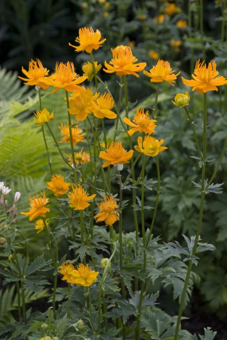 globeflower 'Orange Princess'