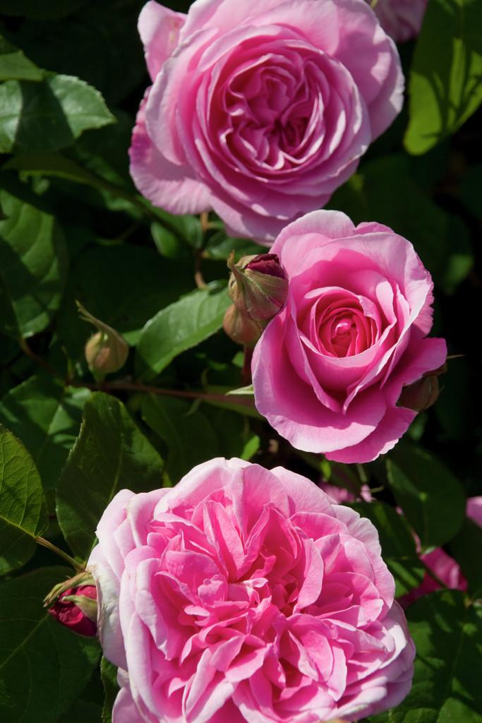 rose [Gertrude Jekyll]
