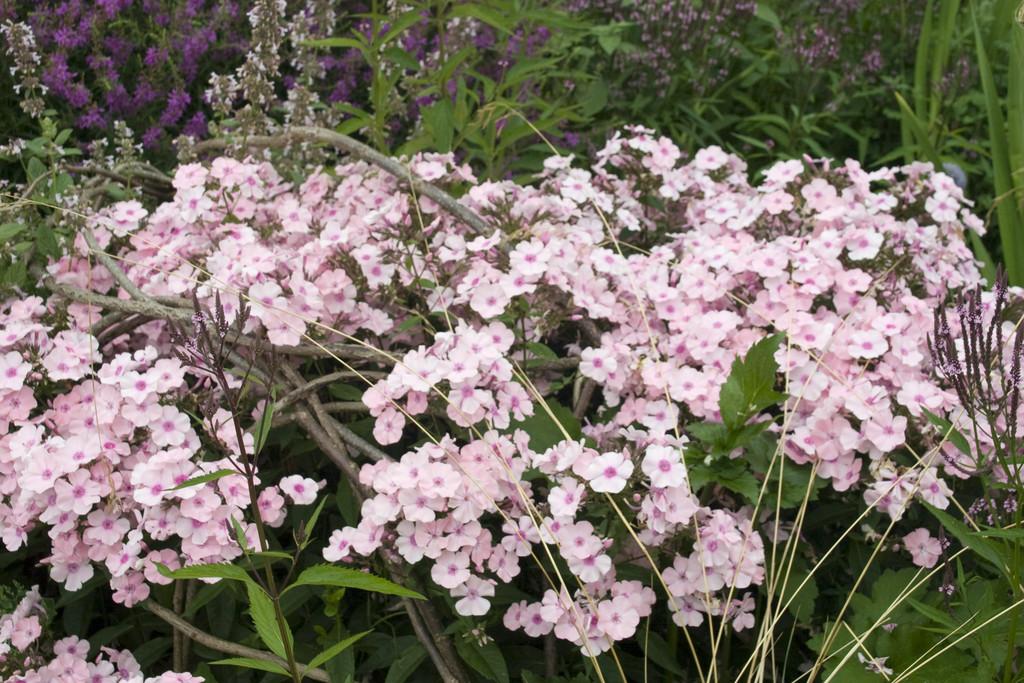 perennial phlox 'Rosa Pastell'