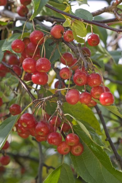 crab apple 'Sun Rival'