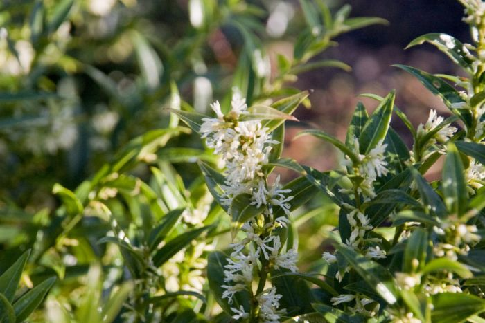 fragrant sarcococca 'Dragon Gate'