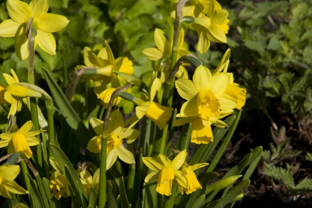 daffodil 'Tê