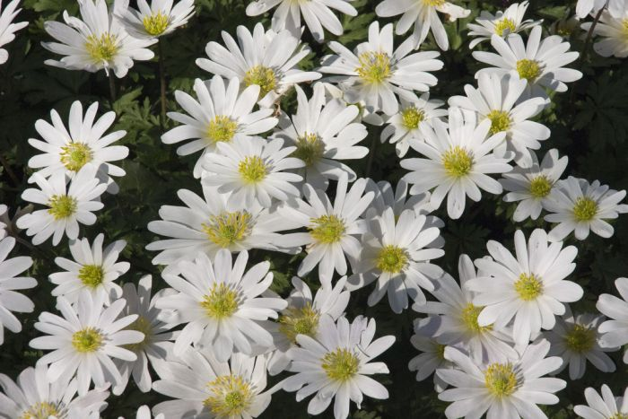 Anemone Blanda White Splendour Winter Windflower