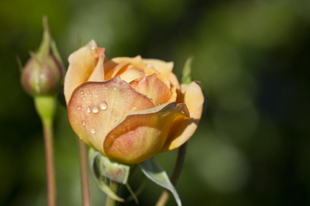 rose [Grace]