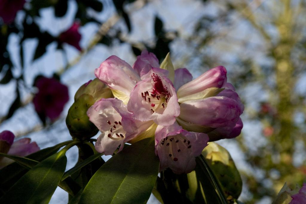 Szechwan rhododendron