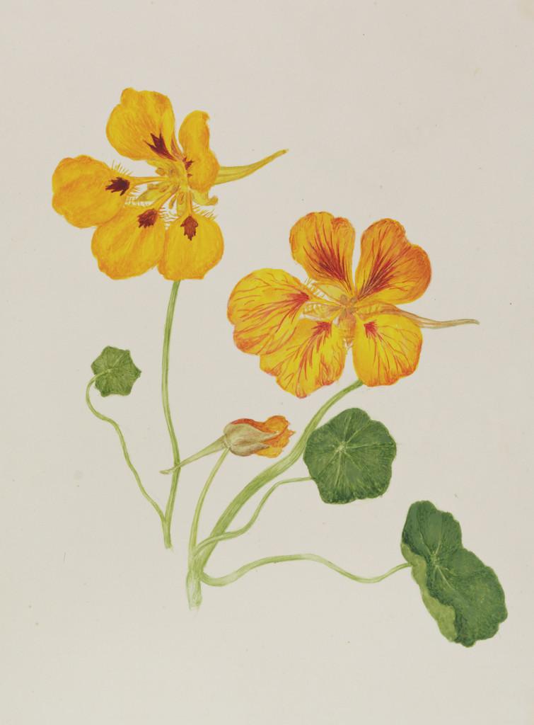 garden nasturtium