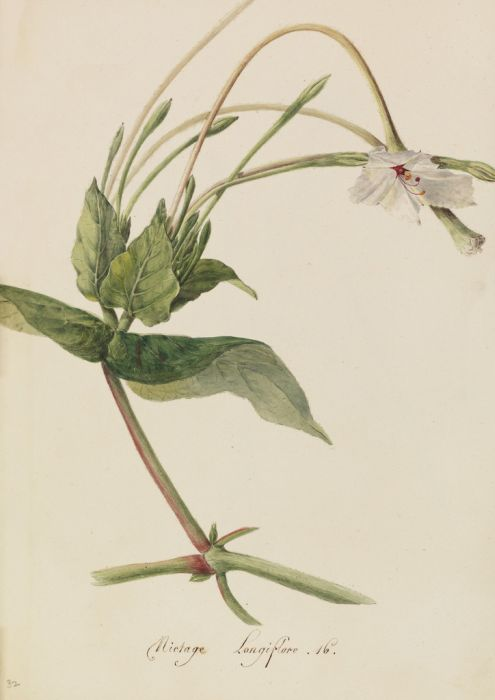 long-flowered tobacco plant
