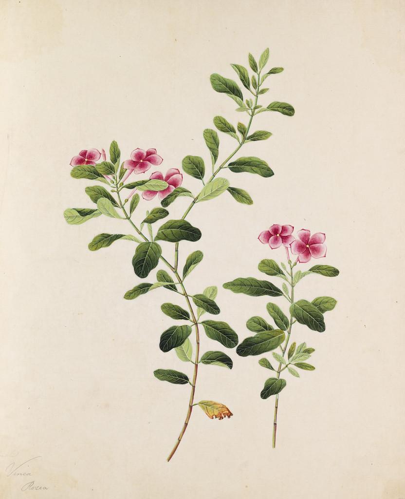 rose periwinkle