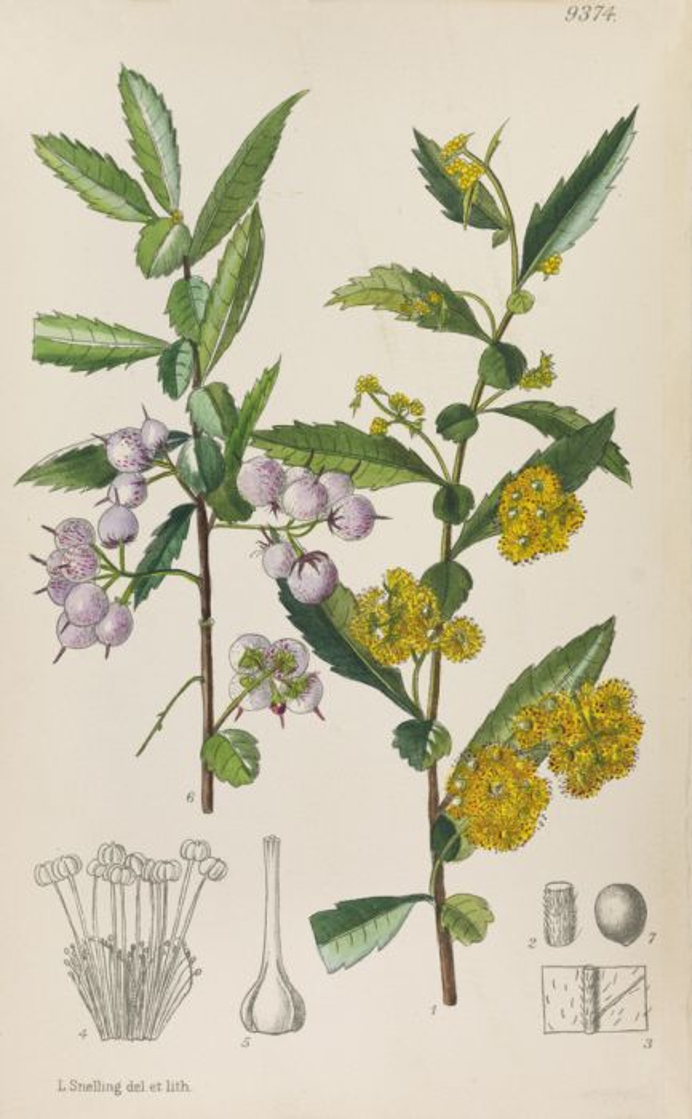 <i>Azara lanceolata</i>