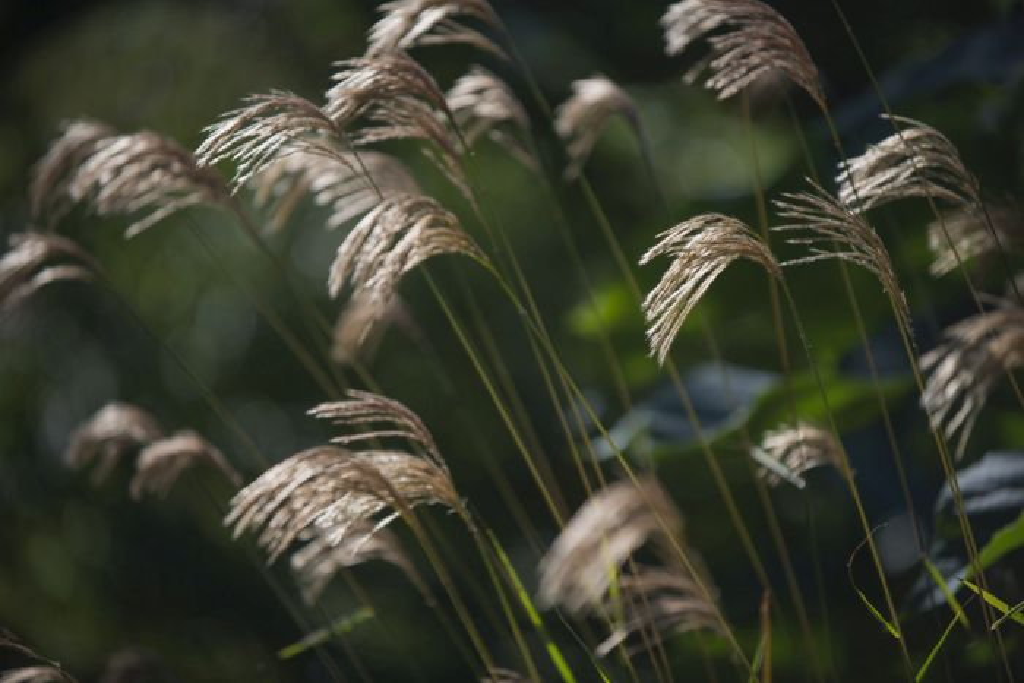 Himalayan fairy grass