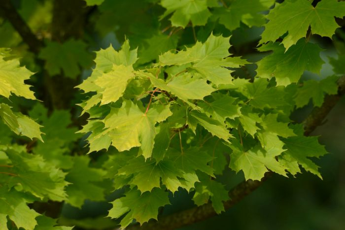 Norway maple [Princeton Gold]