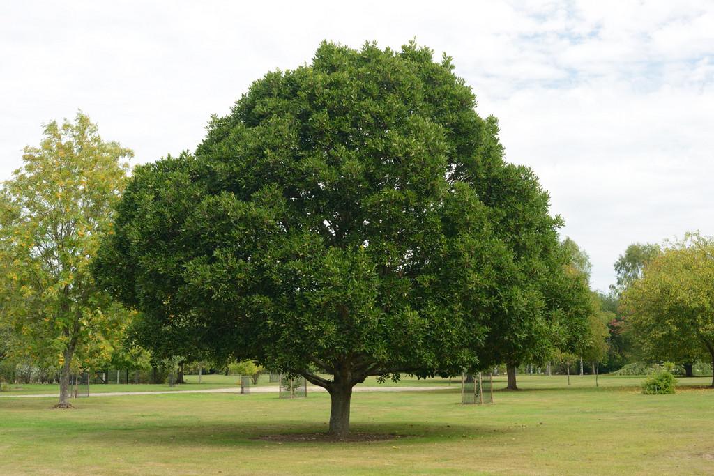oak 'Pseudoturneri'