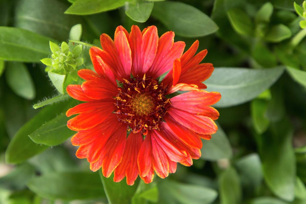 blanketflower 'Celebration'