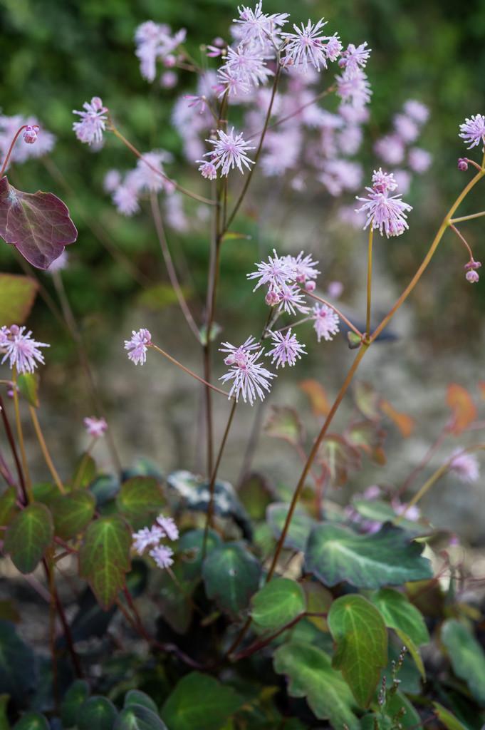 Rhs advice tips on garden indoor plants plant finder for Thalictrum rochebrunianum rhs