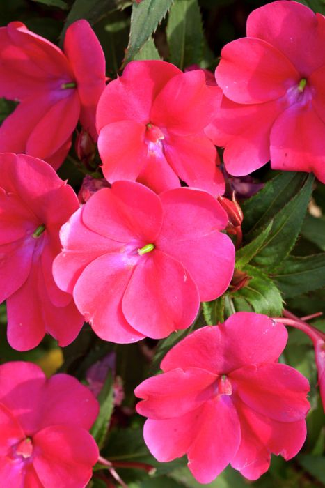 busy lizzie [SunPatiens Compact Blush Pink]
