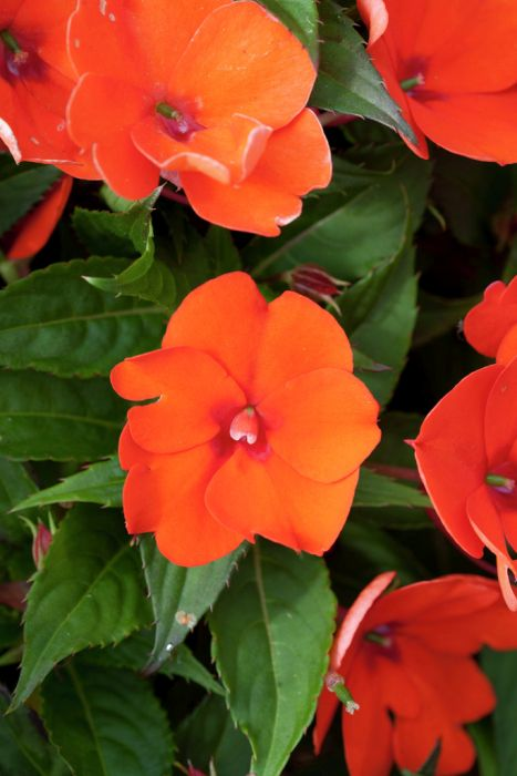 busy lizzie [SunPatiens Compact Electric Orange]