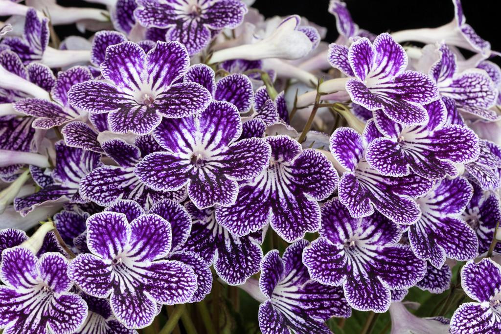 Cape primrose 'Polka-Dot Purple'