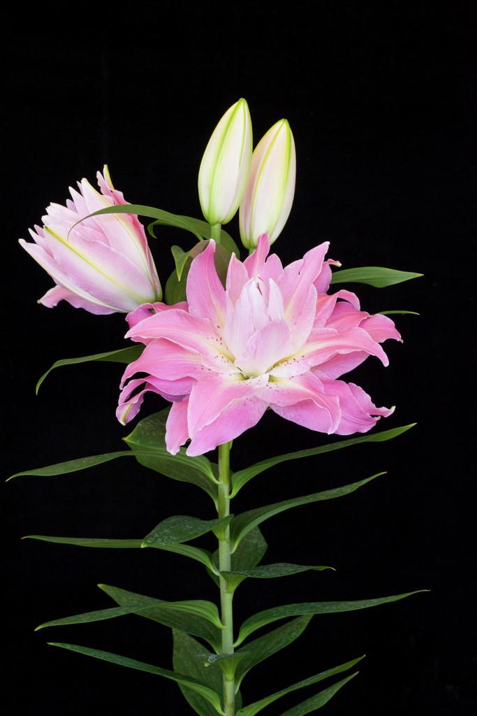 lily 'Twyford'