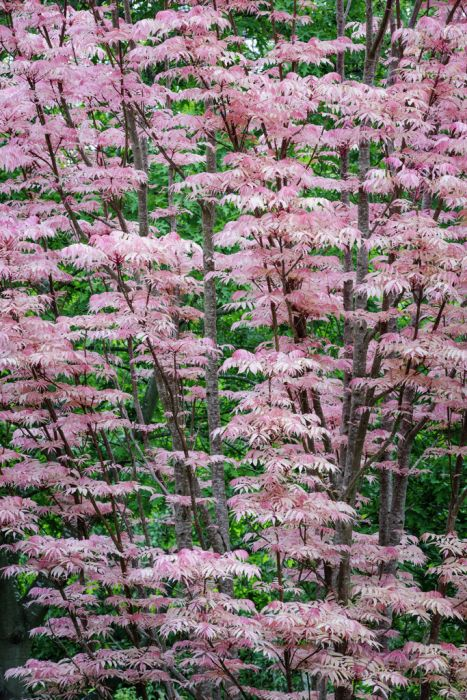 Chinese cedar 'Flamingo'