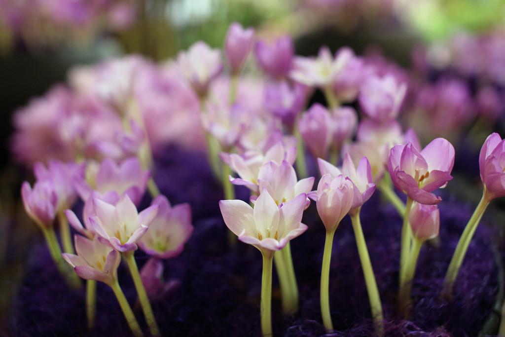 meadow saffron 'Violet Queen'