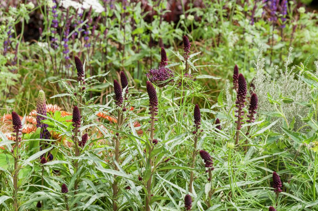 purple loosestrife 'Beaujolais'