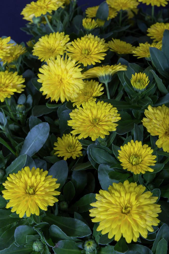 marigold [PowerDaisy Sunny]