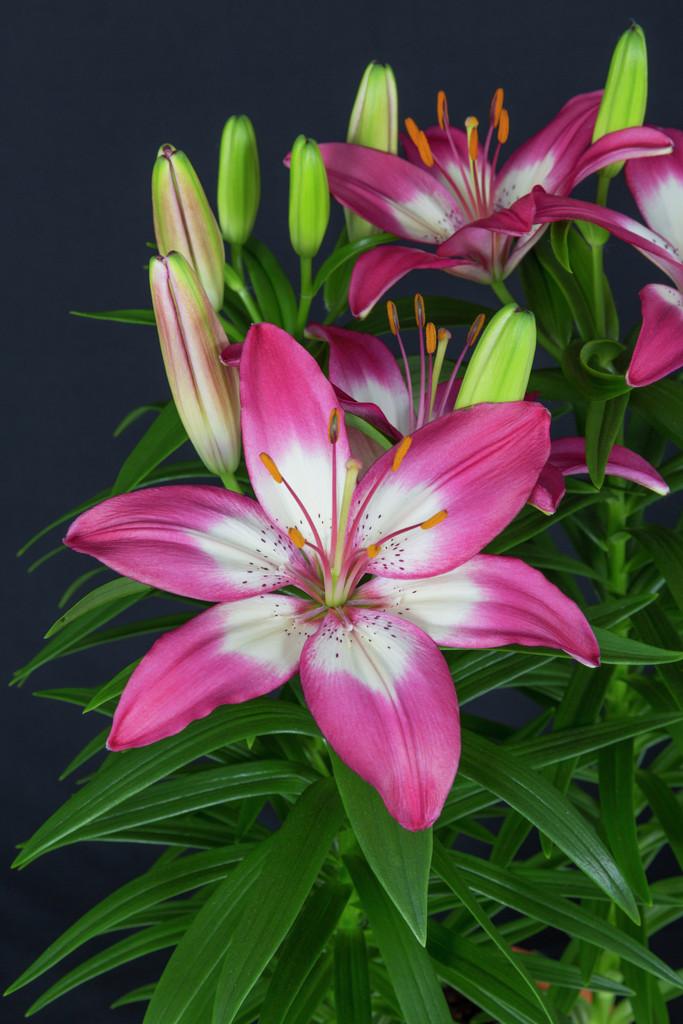 lily 'Perfect Joy'