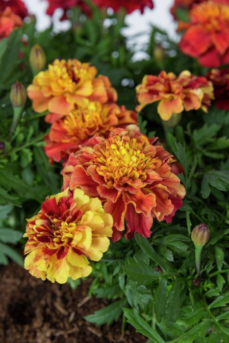 French marigold 'Strawberry Blonde'