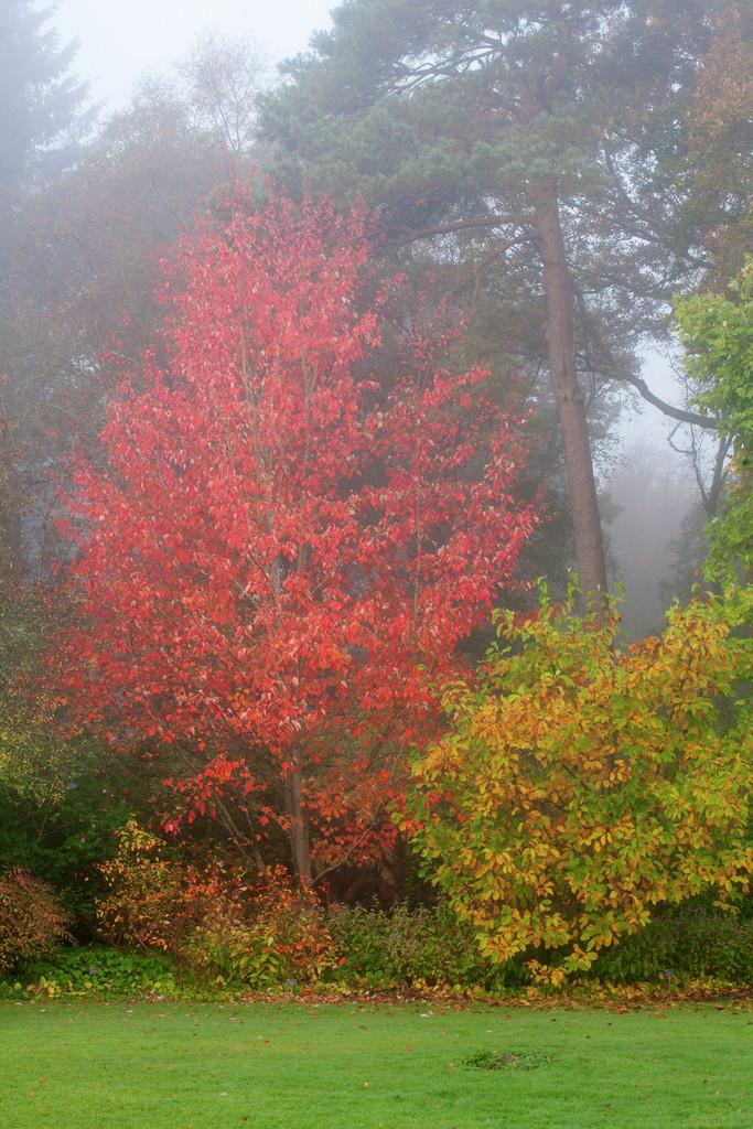 red maple 'Scanlon'