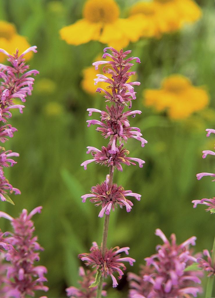 <i>Monarda citriodora</i> subsp. <i>austromontana</i> 'Bees' Favourite'