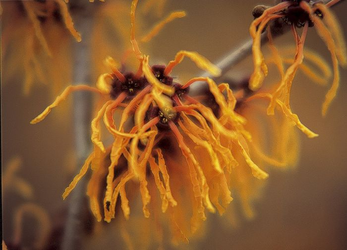 witch hazel 'Vesna'