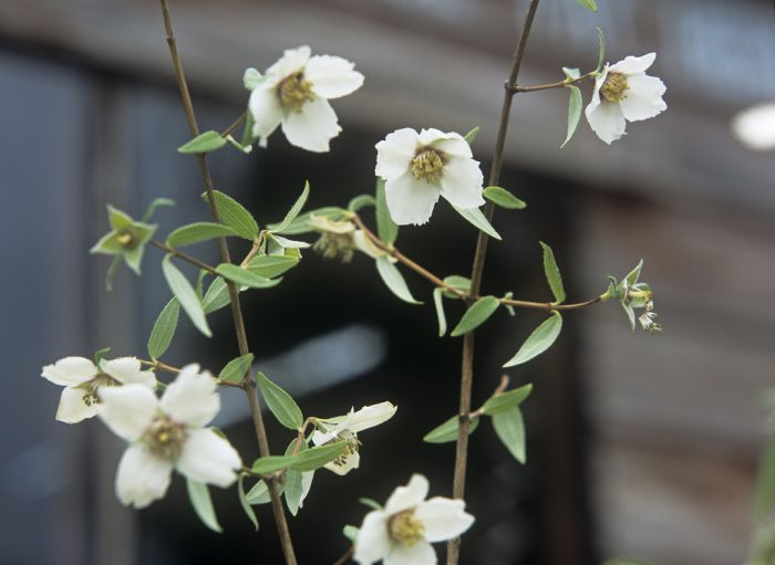 mock orange 'Mexican Jewel'