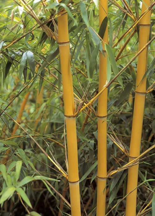 golden Chinese timber bamboo
