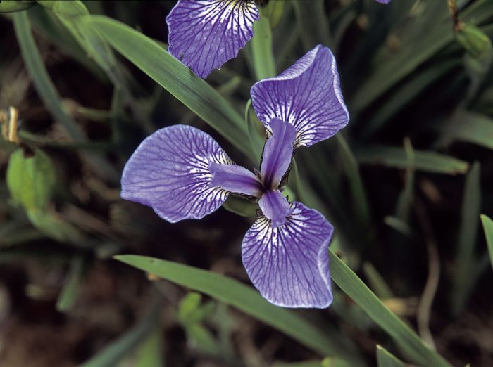 bristle-pointed iris