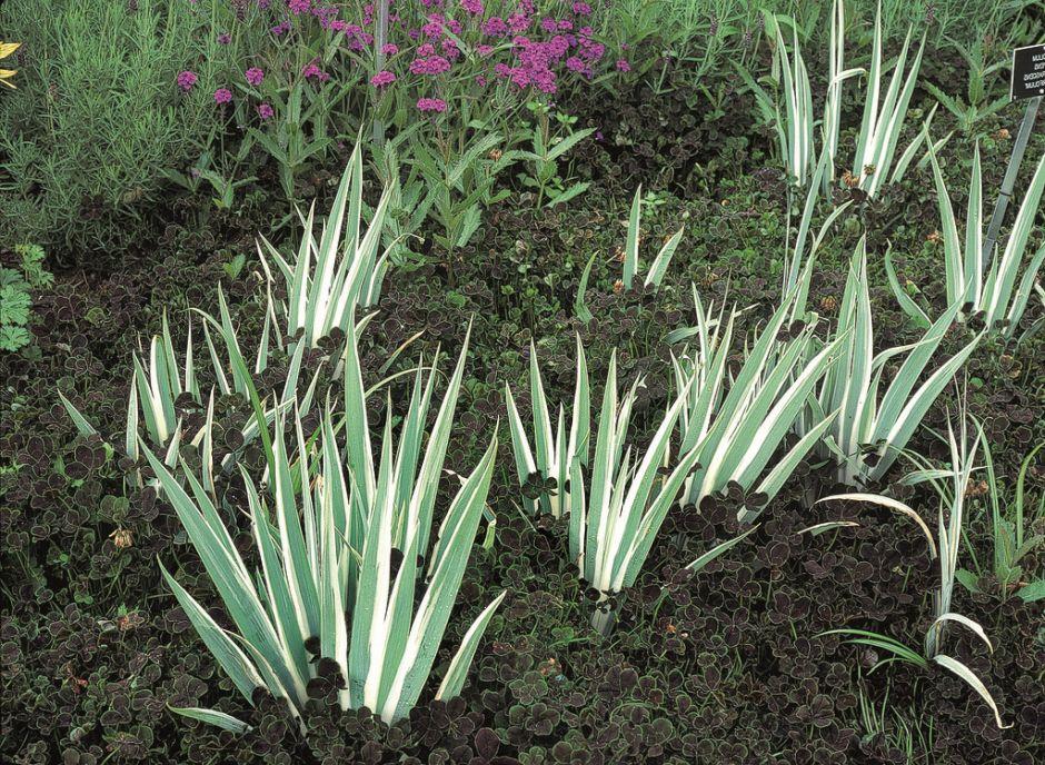 variegated Dalmatian iris