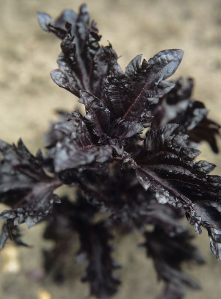 <i>Ocimum basilicum</i> var. <i>purpurascens</i> 'Purple Ruffles'